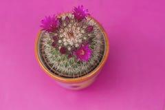 Spiny pincushion cactus Stock Images