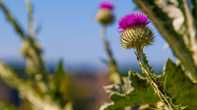 Spiny Plumeless Thistle Royalty Free Stock Image