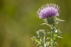 Spiny plumeless thistle Stock Image
