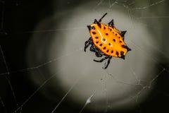 Spiny Podparty okręgu tkacza pająk Fotografia Stock