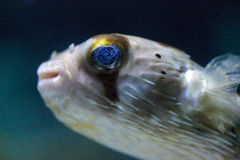 Spiny porcupinefish Diodon holocanthus has eyes that sparkle wit Stock Images