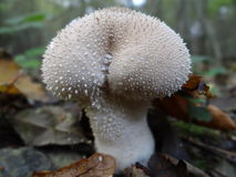 Spiny Puffball. Detail of a Spiny Puffball mushroom royalty free stock photography