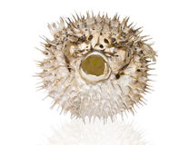 Spiny pufferfish on a white background Royalty Free Stock Photos