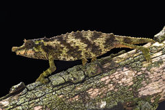 Spiny pygmy chameleon (Rhampholeon acuminatus). The Spiny pygmy chameleon (Rhampholeon acuminatus) was only discovered in 2006. They are critically endangered Stock Images