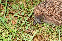 Spiny scared wild hedgehog royalty free stock photo