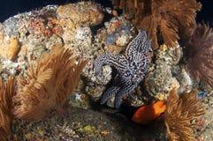Spiny Sea Star Stock Photography