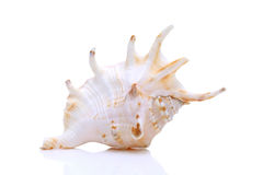 Spiny seashell Stock Image