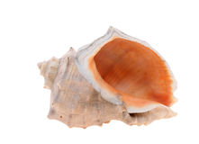 Spiny seashell Royalty Free Stock Images