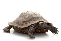spiny sköldpadda Arkivbilder