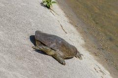 Spiny Softshell Turtle Royalty Free Stock Photo