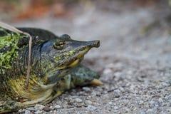 Spiny softshelled turtle Royalty Free Stock Photography