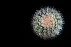 Spiny spherical cactus on black background. Top view Echinocactus grusonii with long white needles, thorns. Copy space. stock photo