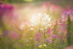 Spiny spider flower landscape Royalty Free Stock Photo