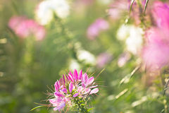 Spiny spider flower landscape Royalty Free Stock Photos