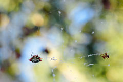 Spiny Spider Royalty Free Stock Images