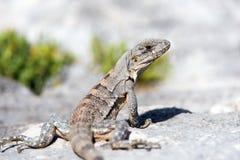 Spiny Tailed Iguana Royalty Free Stock Images