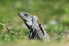 Spiny Tailed Iguana Stock Image