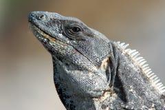 Spiny Tailed Iguana Royalty Free Stock Photography