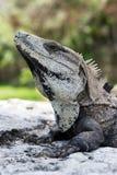 Spiny Tailed Iguana Stock Photo