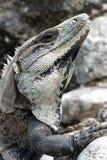 Spiny Tailed Iguana Stock Images