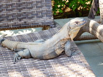 Spiny-tailed Iguana. A large spiny tailed iguana lazing on a sunbed soaking up the sun Royalty Free Stock Photography