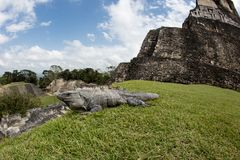 Spiny Tailed Iguana at Mayan Ruins of Xunantunich in Belize Royalty Free Stock Photo
