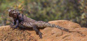 Spiny-Tailed Iguana Royalty Free Stock Images