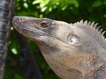 Spiny Tailed Iguana. Portrait of a Spiny Tailed Iguana posing for the camera Stock Photos
