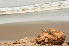A Spiny Tailed Iguana relaxing on a beach. A Spiny Tailed Iguana Basking on a beach in Costa Rica Royalty Free Stock Photos