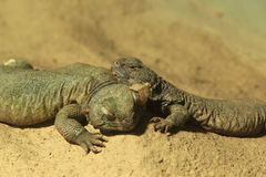 Spiny-tailed lizard Stock Photography