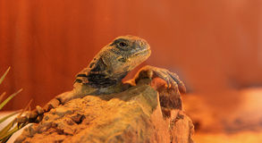 Free Spiny Tailed Lizard Royalty Free Stock Image - 53813686