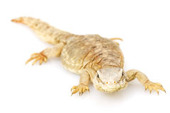 Spiny-tailed lizard Royalty Free Stock Photography