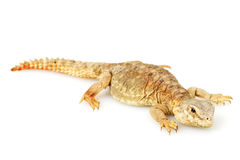 Spiny-tailed lizard Stock Photo