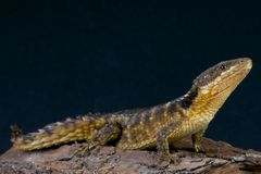 Spiny-tailed lizard / Cordylus tropidosternum Royalty Free Stock Images