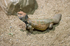 Spiny-tailed lizard (Uromastyx acanthinurus) Stock Images