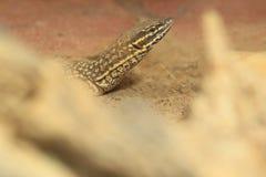 Spiny tailed monitor Stock Photo