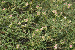 Spiny or Thorny Burnet Stock Image