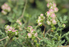 Spiny or Thorny Burnet Stock Images