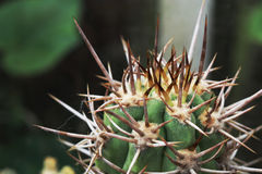 Spiny tips of a spiky cactus. Ferocious looking cactus with large spines stock image