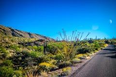 Spiny trzonu Ocotillo w Saguaro parku narodowym, Arizona obraz royalty free