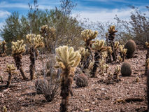 Spiny white Opuntia cactus Stock Images