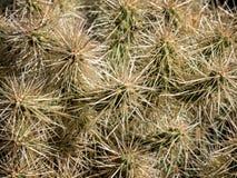 Spiny white Opuntia cactus Royalty Free Stock Photo