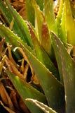 Spiny zieleni agawa liście Obrazy Royalty Free