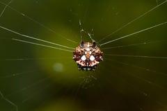 spinybacked orbweaver pająk Zdjęcie Royalty Free