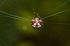 Spinybacked Orbweaver spider royalty free stock photo