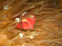 Spinycheek anemone fish. Nemo in an anemone. Sipadan, Malaysia Royalty Free Stock Photo