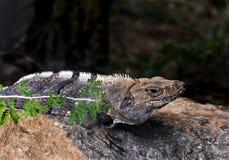 黑Spinytail鬣鳞蜥(Ctenosaura similis) 免版税库存图片