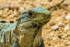 Spinytail iguana Fotografia Stock