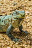 Spinytail iguana Obrazy Stock