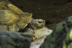 Spio una tartaruga Immagini Stock